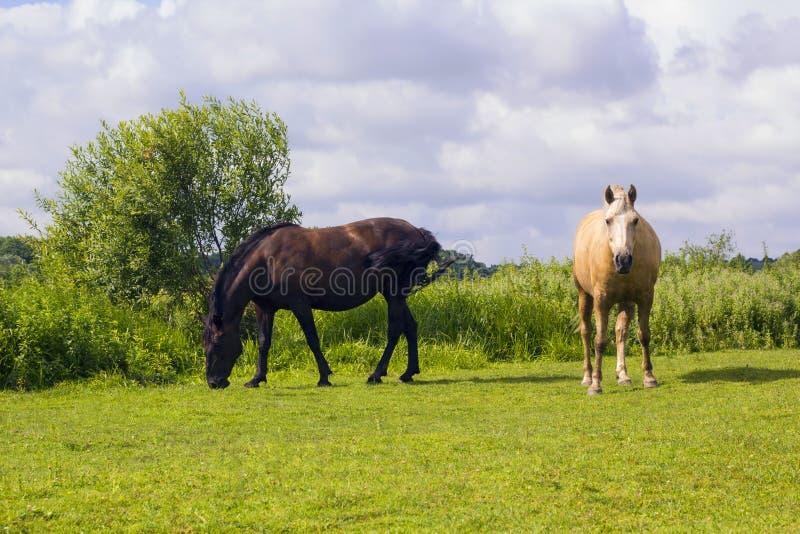 Dos caballos que pastan en prado verde foto de archivo libre de regalías
