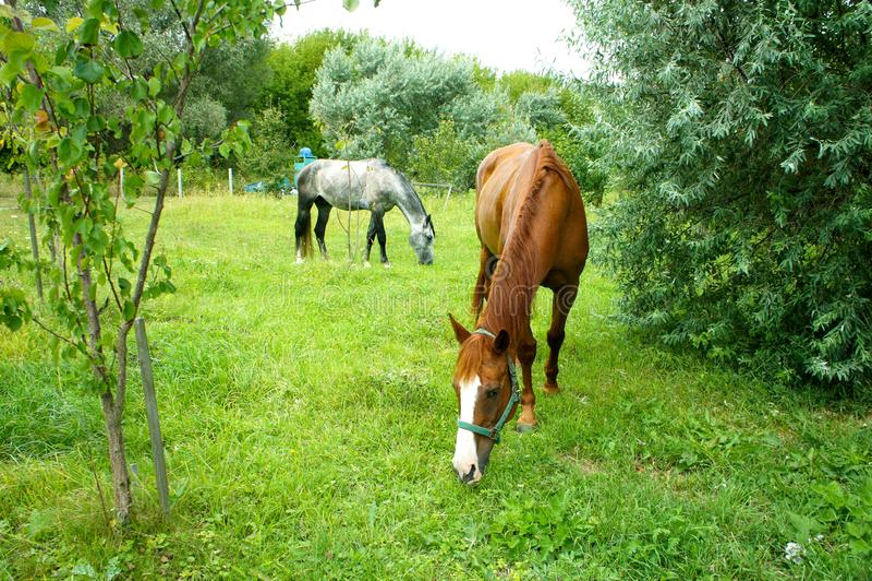 Dos caballos que pastan en un prado foto de archivo libre de regalías