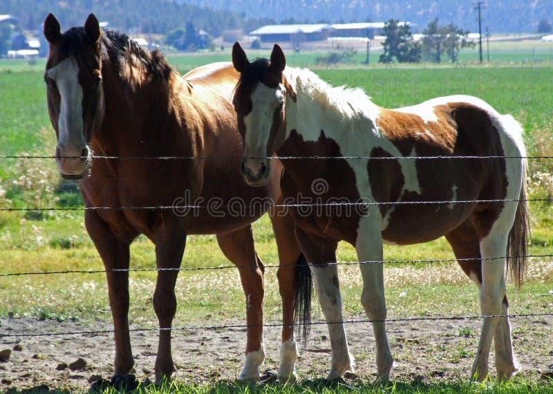 Dos caballos que presentan para mí. fotos de archivo libres de regalías