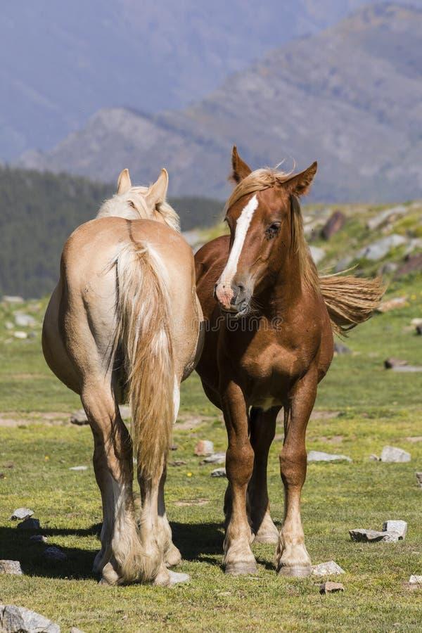 Dos caballos se colocan al lado de uno otro en un prado en los Pirineos fotos de archivo