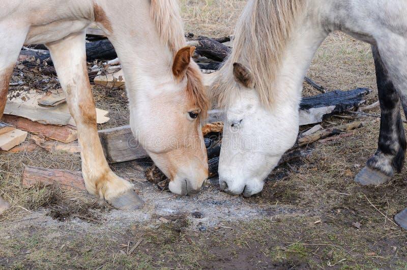 Dos caballos se hacen frente, juego no están digno de esperar las cenizas del fuego imagen de archivo