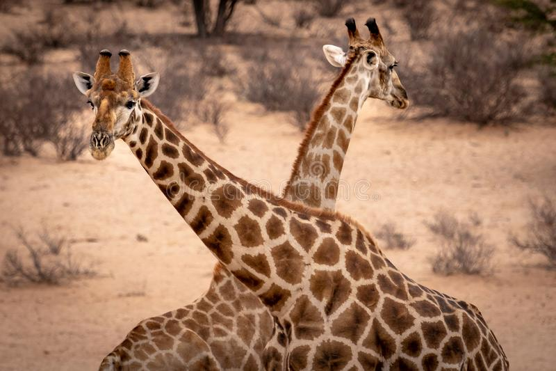Dos cabezas de la jirafa cruzaron encima imagen de archivo