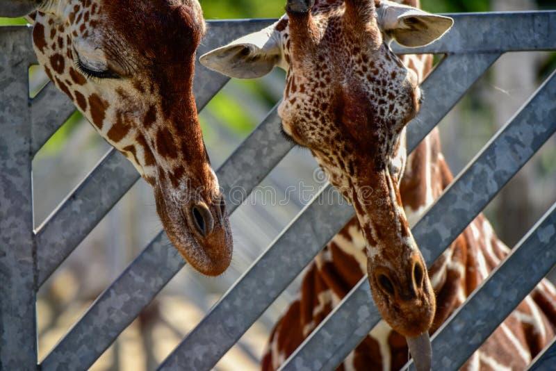 Dos cabezas de la jirafa en el fondo de la puerta fotografía de archivo libre de regalías