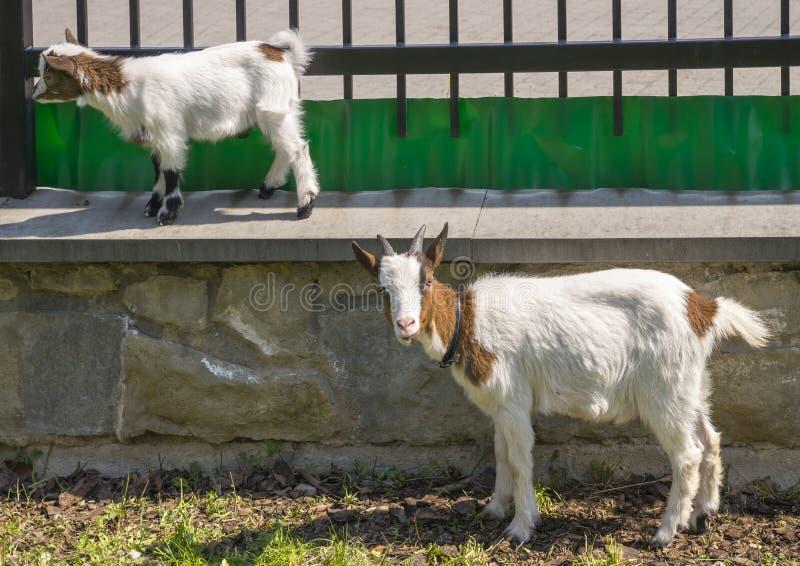 Dos cabras fotografía de archivo
