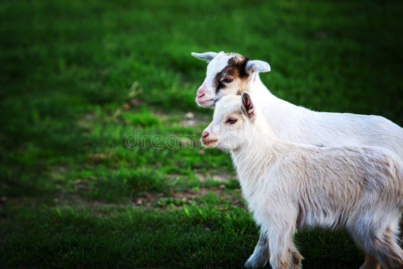 Dos cabras blancas del bebé en hierba verde fotos de archivo libres de regalías
