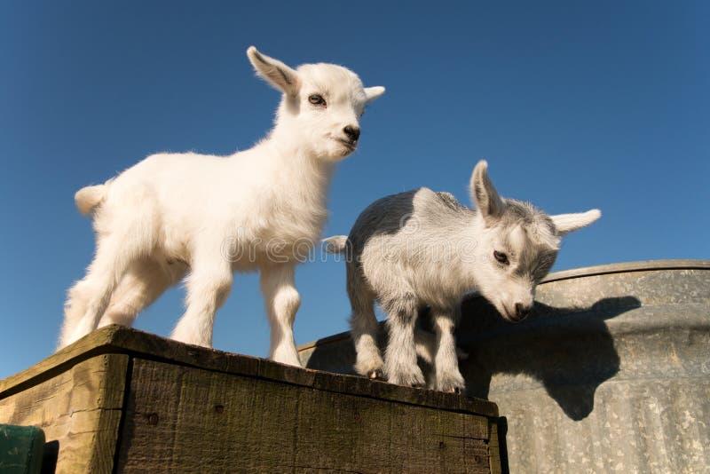 Dos cabras del pigmeo del bebé imagenes de archivo