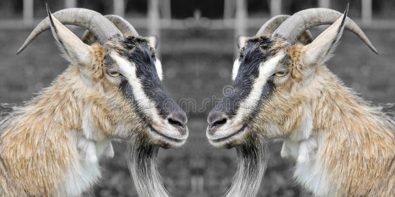 Dos cabras divertidas fotografía de archivo libre de regalías