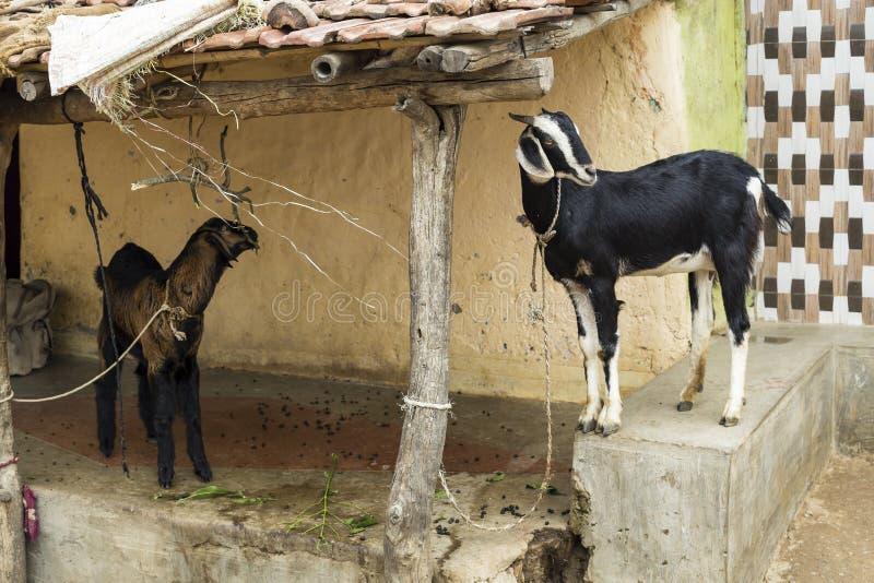 Dos cabras en Anchetty, la India fotos de archivo libres de regalías