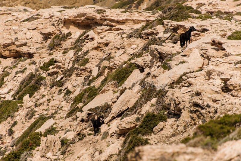 Dos cabras en la tierra rocosa desde arriba fotos de archivo