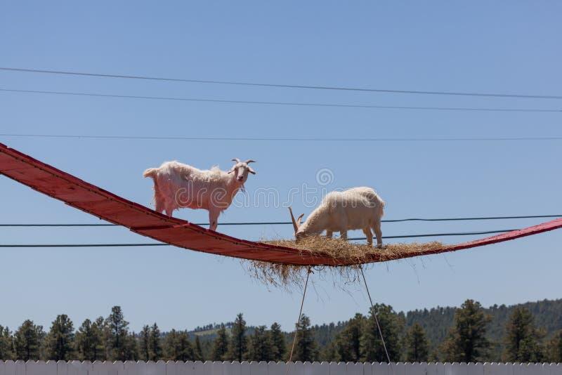 Dos cabras en un alto paseo foto de archivo libre de regalías