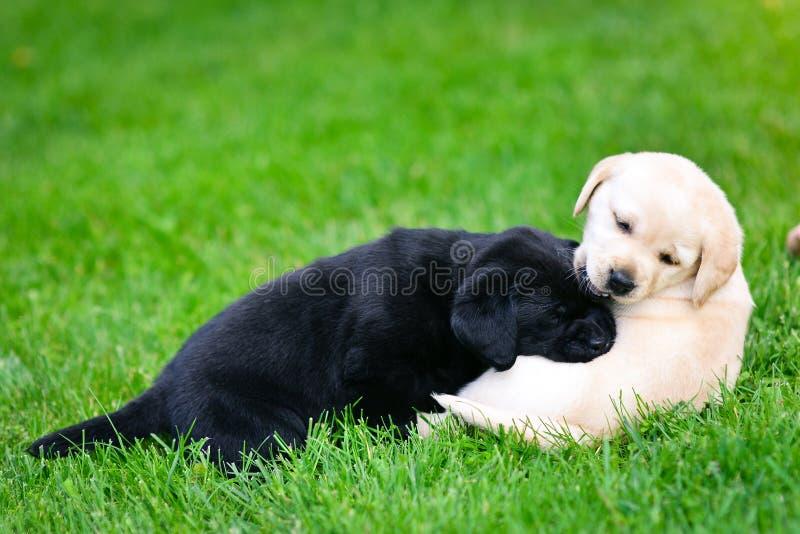 Dos cachorros de Labrador imagenes de archivo