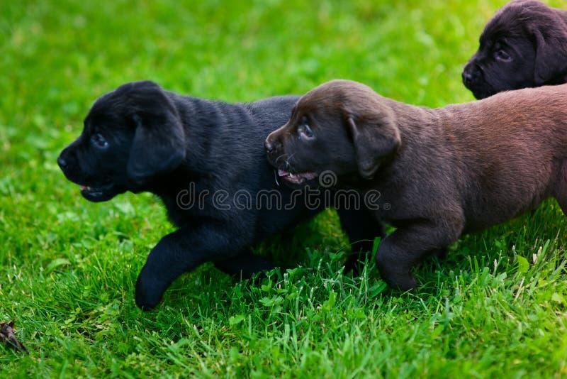 Dos cachorros de Labrador foto de archivo libre de regalías