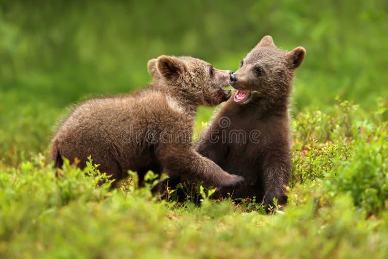 Dos cachorros de oso marrón juegan luchar en el bosque imagen de archivo