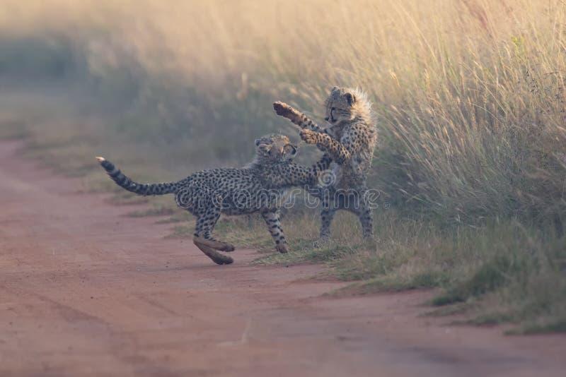 Dos cachorros del guepardo que juegan madrugada en un camino foto de archivo