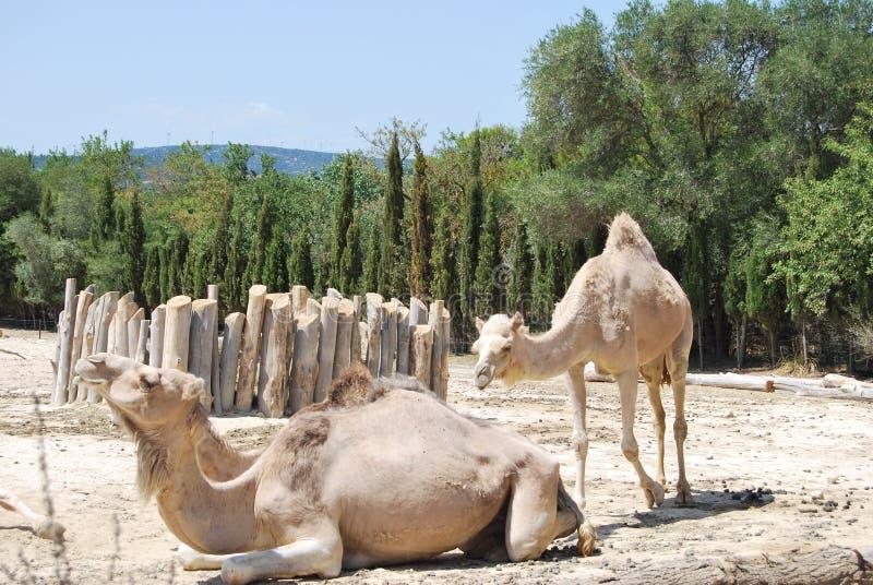 Dos camellos están descansando sobre la arena con los árboles verdes en el safari salvaje de África imagenes de archivo