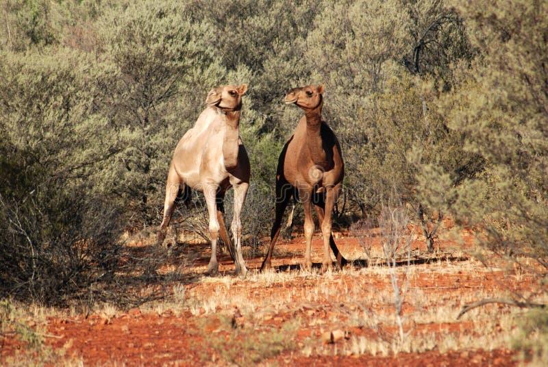 Dos camellos salvajes australianos fotografía de archivo libre de regalías
