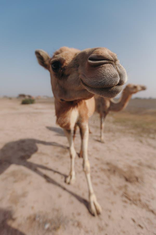 Dos camellos se colocan en el desierto bajo rayos del sol en Dubai imagen de archivo