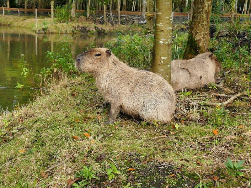 Dos capybaras cerca de una charca en zoo-granja al aire libre imágenes de archivo libres de regalías
