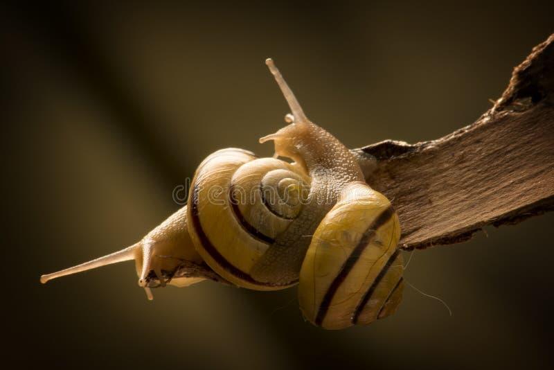 Dos caracoles en amor fotografía de archivo libre de regalías