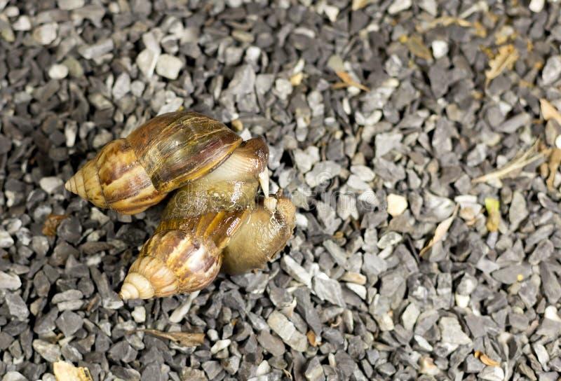 Dos caracoles están en amor en pedregal imagen de archivo