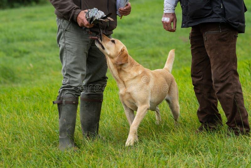 Dos cazadores que sostienen una paloma con Labrador amarillo que lame el pi fotos de archivo
