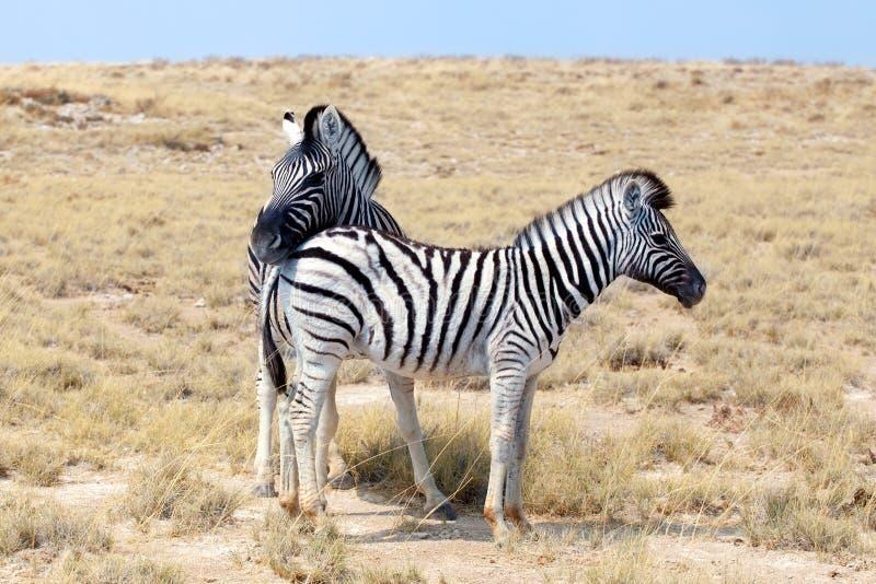 Dos cebras colocan uno al lado del otro el primer en la sabana, safari en el parque nacional de Etosha, Namibia, África meridiona imágenes de archivo libres de regalías