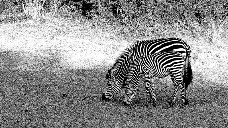 Dos cebras con las rayas perfectamente a juego del cuerpo fotos de archivo