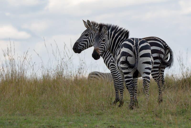Dos cebras que se colocan en los prados de Masai Mara, Kenia, África imagenes de archivo