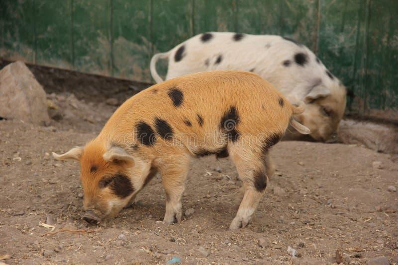 Dos cerdos en una pluma fotografía de archivo libre de regalías