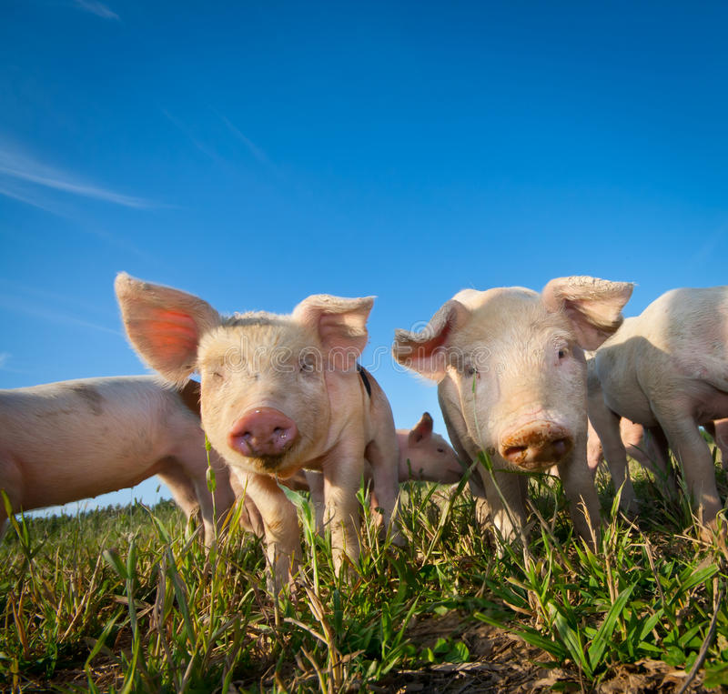 Dos cerdos lindos foto de archivo libre de regalías