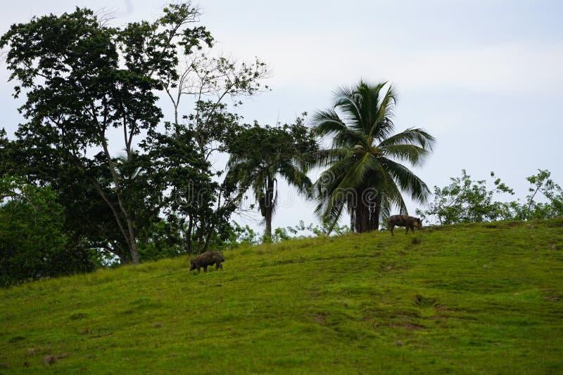 Dos cerdos que caminan en un campo herboso con los árboles en el fondo en la República Dominicana imagen de archivo libre de regalías