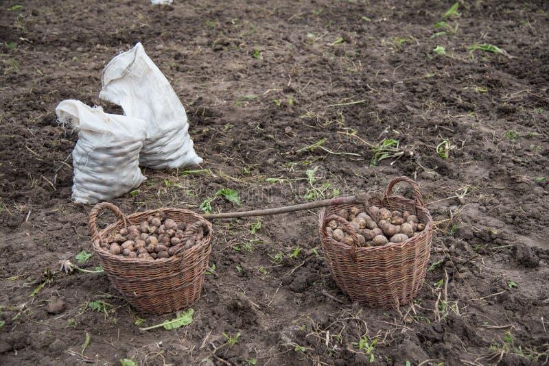 Dos cestas llenadas de las patatas recientemente cavadas están en el campo, los sacos tejidos llenados de las patatas y la azada  foto de archivo