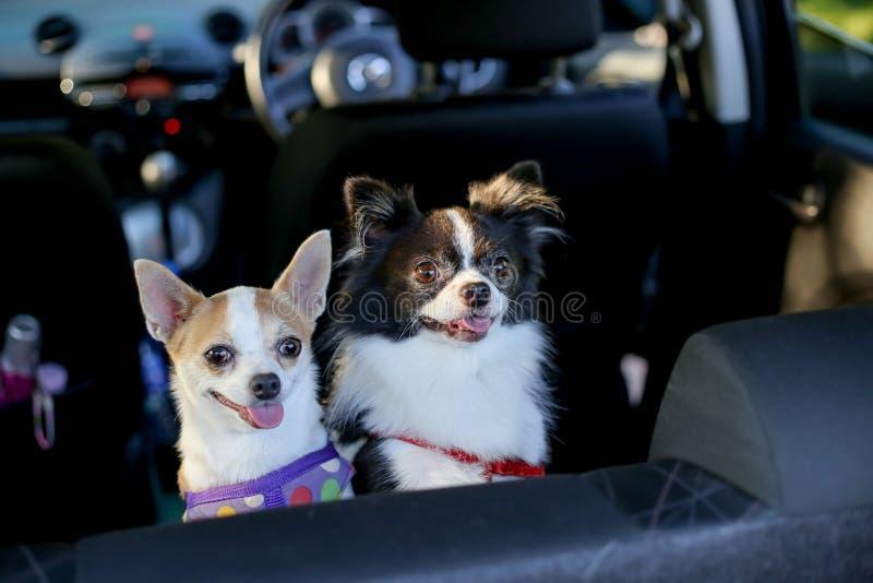 Dos chihuahuas que se colocan en asiento trasero y mirada en el dueño foto de archivo libre de regalías