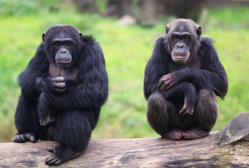 Dos chimpancés imágenes de archivo libres de regalías