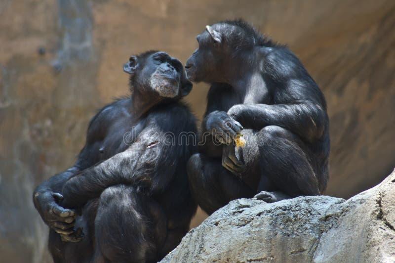Dos chimpancés de la montaña de Mahale en la mirada del parque zoológico del LA en uno a un chimpancé tienen una herida abierta e imagen de archivo