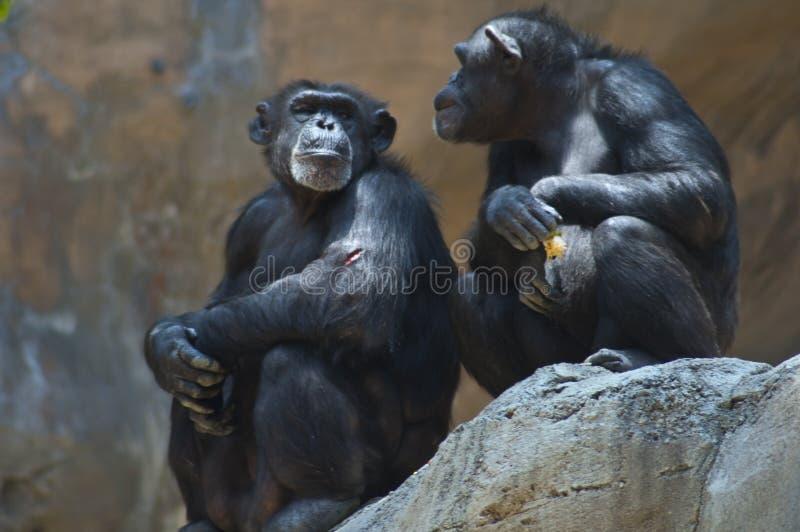 Dos chimpancés de las montañas de Mahale en el parque zoológico del LA en chimpancé de la roca una con el brazo herido dan el ojo foto de archivo libre de regalías