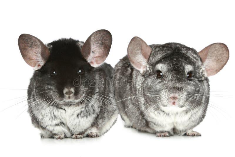Dos chinchillas grises en un blanco fotografía de archivo