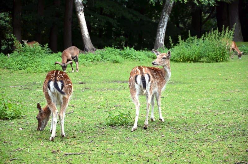 Dos ciervos en barbecho que se van en la fotografía de la hierba fotografía de archivo libre de regalías