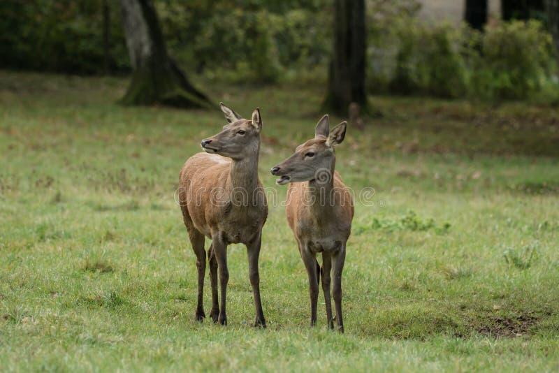 Dos ciervos hermosos en el prado verde fotos de archivo libres de regalías