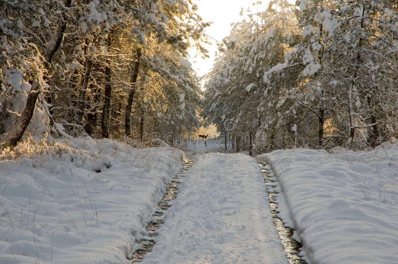 Dos ciervos que cruzan la pista nevosa. imagen de archivo libre de regalías
