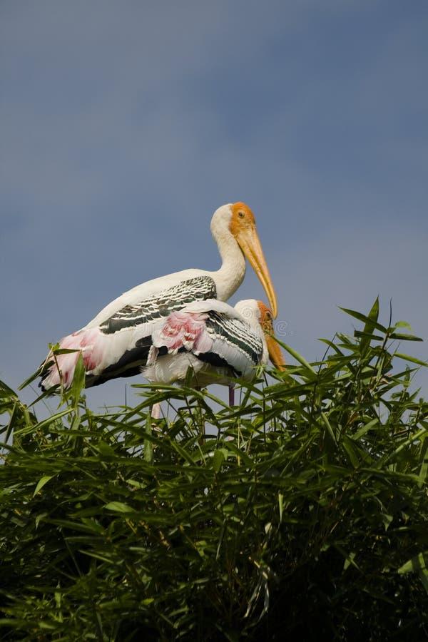 Dos cigüeñas pintadas fotografía de archivo
