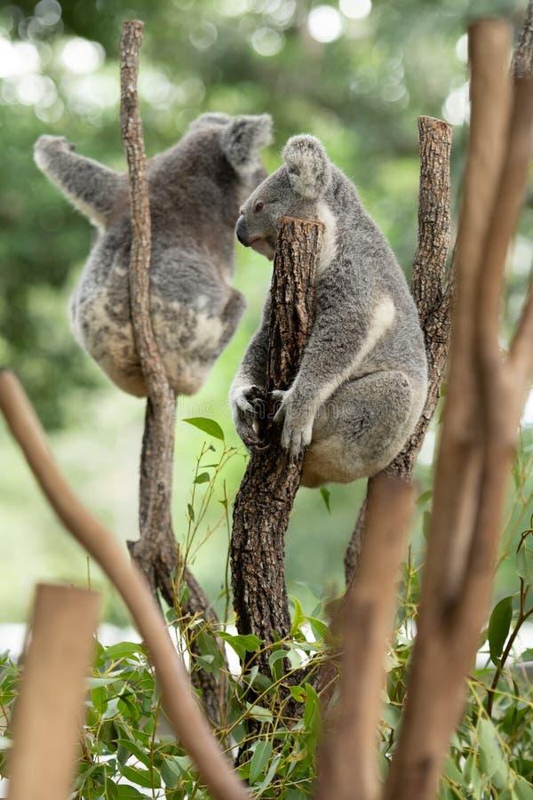 Dos cinereus de los osos o del Phascolarctos de koala, aferrándose en el top de la rama de árbol con el fondo borroso verde imagen de archivo libre de regalías