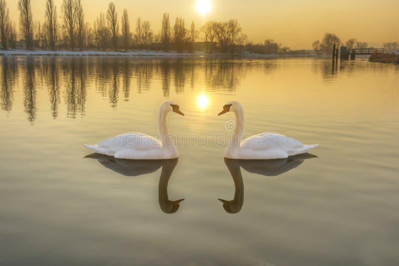 Dos cisnes blancos en un río en la puesta del sol fotos de archivo