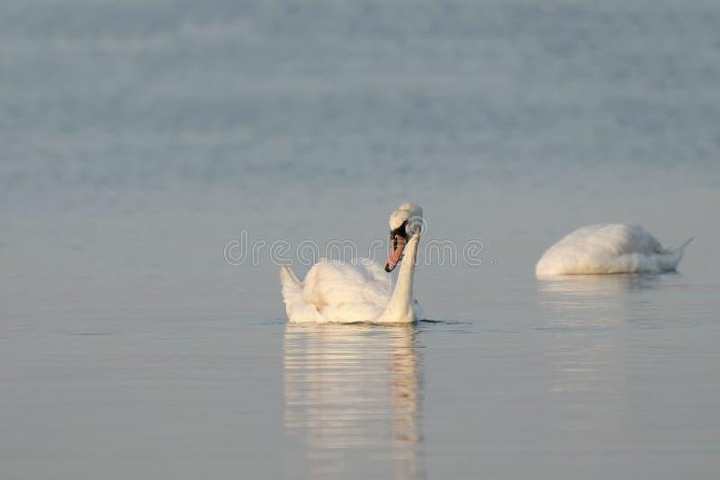 Dos cisnes blancos que nadan en el río en la primavera temprana Cisnes nee imágenes de archivo libres de regalías