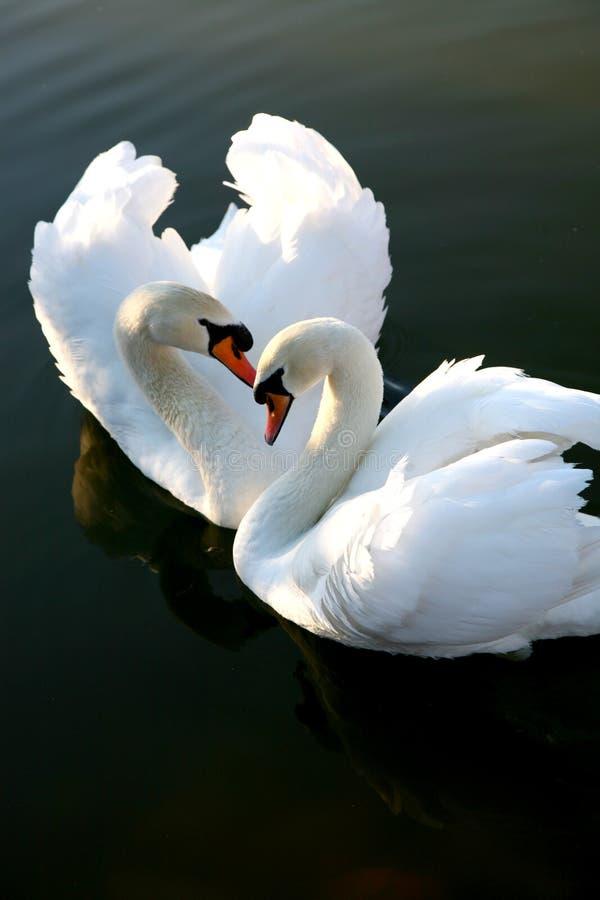 Dos cisnes del amor foto de archivo libre de regalías