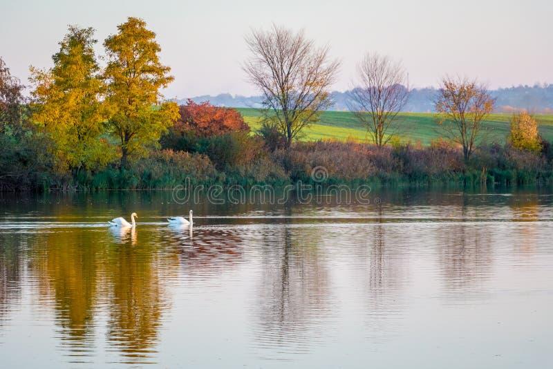 Dos cisnes flotan a lo largo de un río que refleje árboles multicolores del otoño Paisaje del otoño con el río y el swans_ imagen de archivo