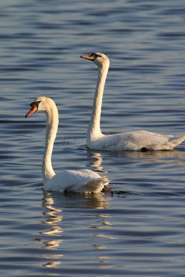 Dos cisnes mudos imagen de archivo