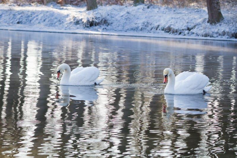 Dos cisnes que nadan en el río imagen de archivo libre de regalías