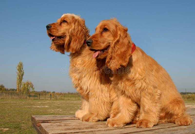 Dos cocker del inglés de los perritos foto de archivo libre de regalías