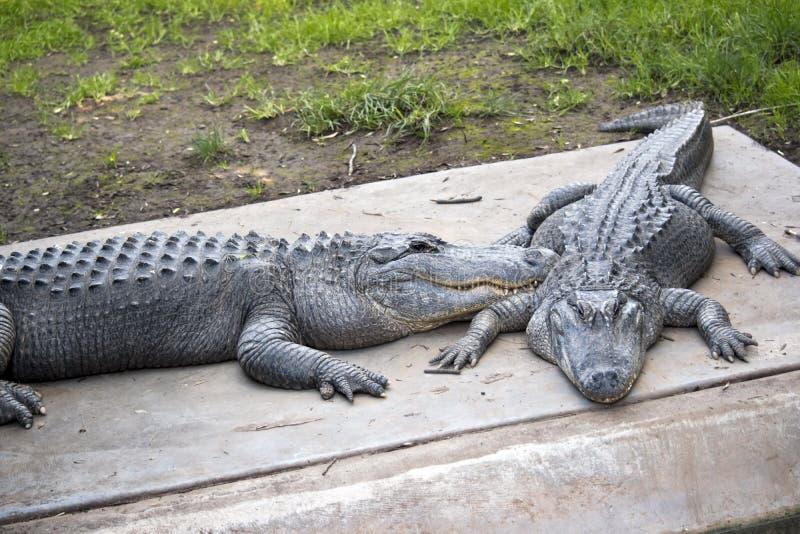 Dos cocodrilos americanos fotografía de archivo